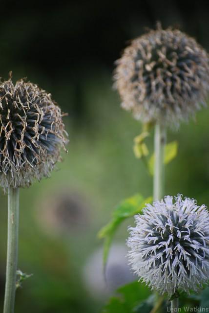 Thistles at Kew Gardens